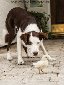 Nelly carefully herding a baby chicken