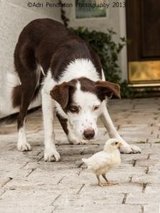 Nelly carefully herding a baby chicken