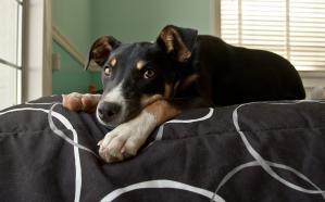 Loretta, a former foster dog.