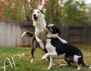 Nelly playing with her favorite of all my foster dogs, Tweed.
