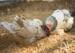 Dustbathing chickens.