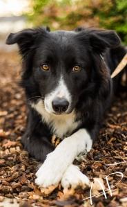 A former foster dog, Kipper(Kip)